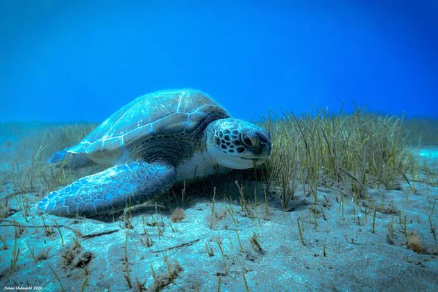 Sea Turtle - Tenerife 2020