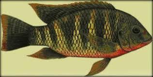 peixe de S.Pedro - Tilapia.jpg