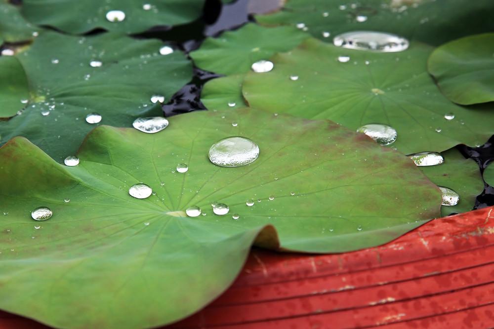 autotriz lotus leaf super hydrophobic effect