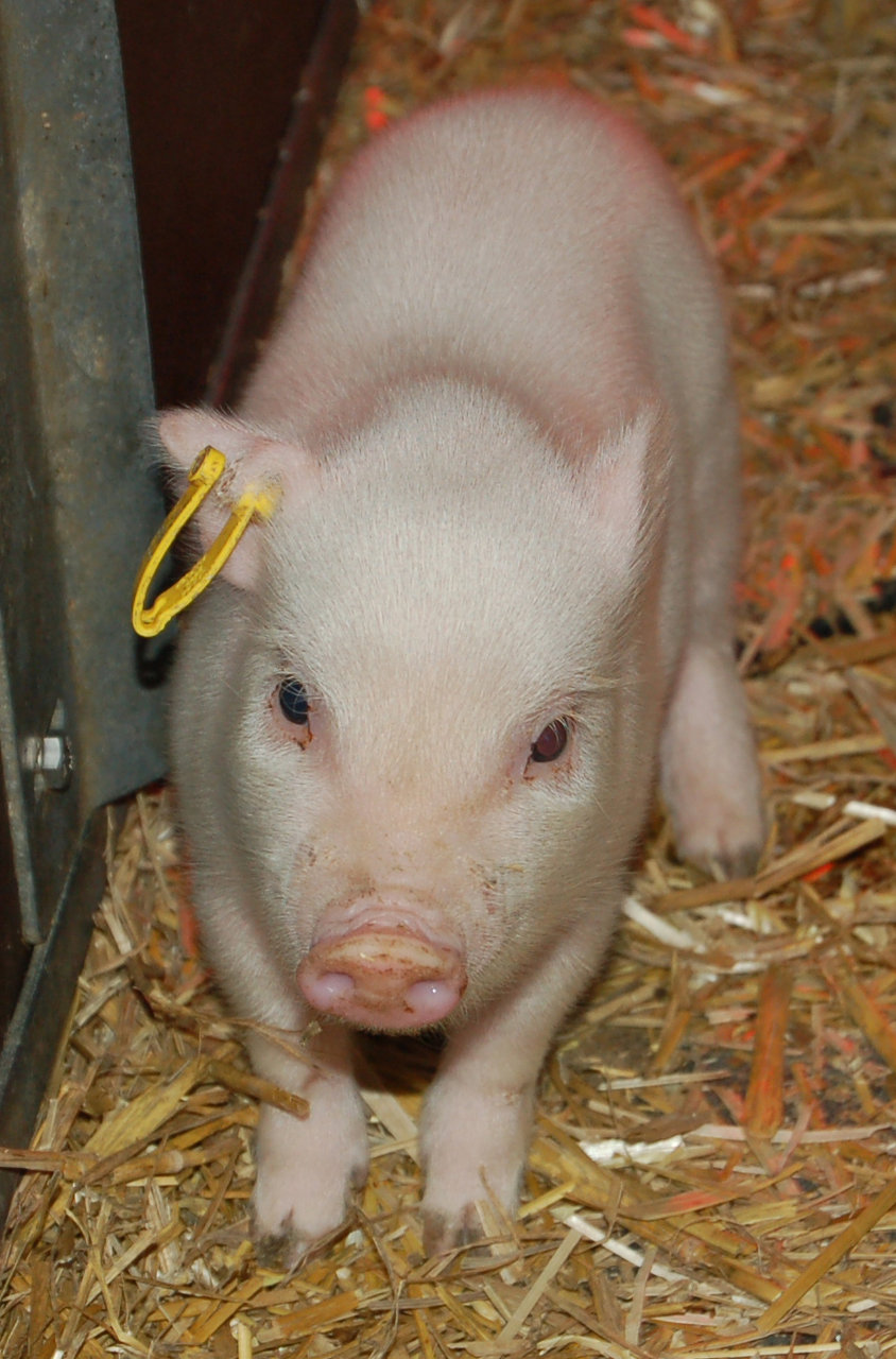 Transgenic piglets II.jpg