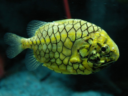 Pinecone Fish: Pineapples of the Sea