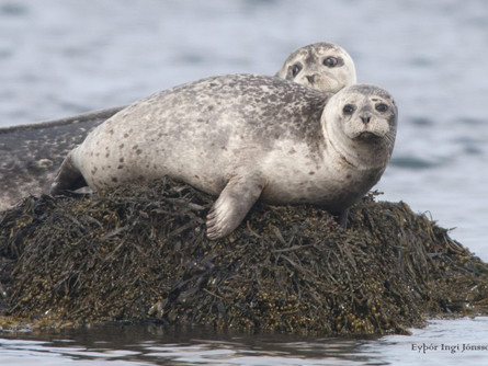 Seals; Not Just a Snack for Sharks