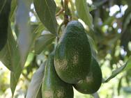 עץ אבוקדו - משתלת האורן