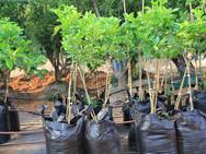 עצי הדרים צעירים - משתלת האורן