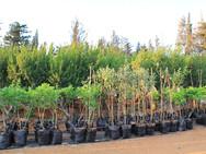 מבחר עצי פרי ונוי - משתלת האורן