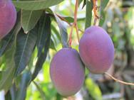 עץ מנגו - משתלת האורן
