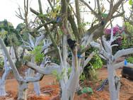עצי לימון מזן יוריקה - משתלת האורן