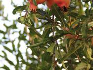 עץ רימון - משתלת האורן