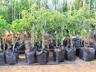 עצי אבוקדו - משתלת האורן