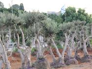 עצי זית - משתלת האורן
