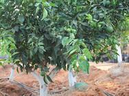 עץ הדר - משתלת האורן