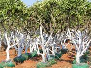 עצי לימון - משתלת האורן