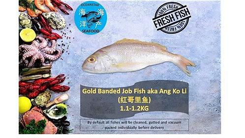 Gold Banded Job Fish aka Ang Goli (红哥里鱼)1.1-1.2KG