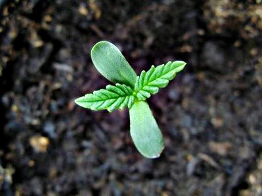 Como empezar el cultivo