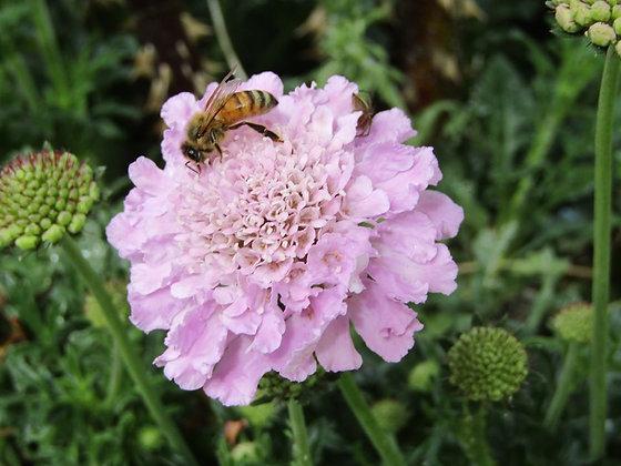 Scabiosa columbaria Pink - Pincushion