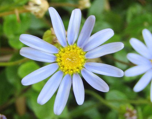 Felicia amelloides - Blue Marguerite Daisy