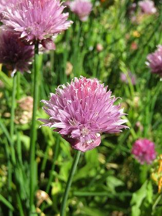 Onion Chives Plants - Allium schoenoprasum