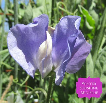 Winter Sunshine Mid Blue