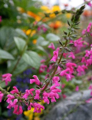 Salvia chiapensis - Chiapas Sage