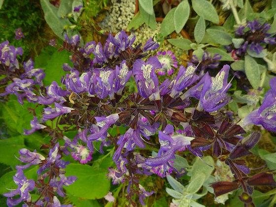 Salvia moorcroftiana
