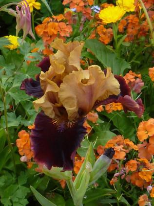Bearded irises in bloom.