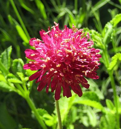 Knautia macedonica - Deep Pink