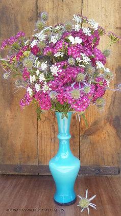 Achillea millefolium Cerise Queen (Yarrow) - Plant