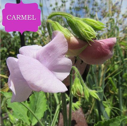 Carmel - Semi Dwarf