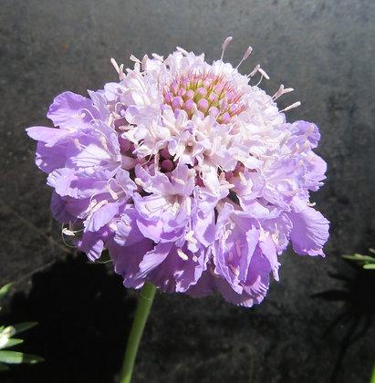 Scabiosa atropurpurea - Lilac - Sweet Scabious