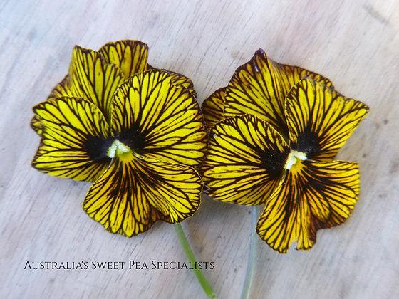 Viola x wittrockiana 'Tiger Eye'