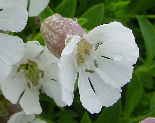 Silene uniflora 'White Bells'