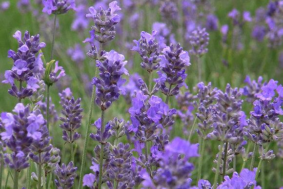 Lavender 'Hidcote' - Lavandula angustifolia