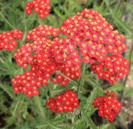 Achillea millefolium Fireland (Yarrow)