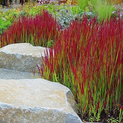Japanese Blood Grass - Imperata cylindrica