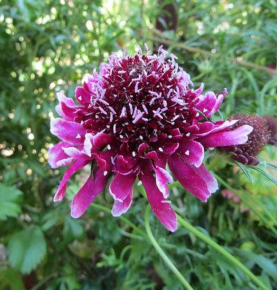 Scabiosa atropurpurea - Sweet Scabious - Beaujolais Bonnets