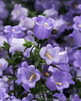 Campanula medium Canterbury Bells Lavender