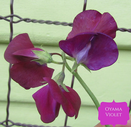 Oyama Violet