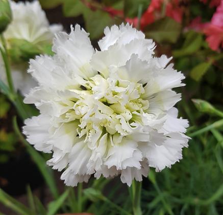 Dianthus caryophyllus 'Mrs Sinkins'