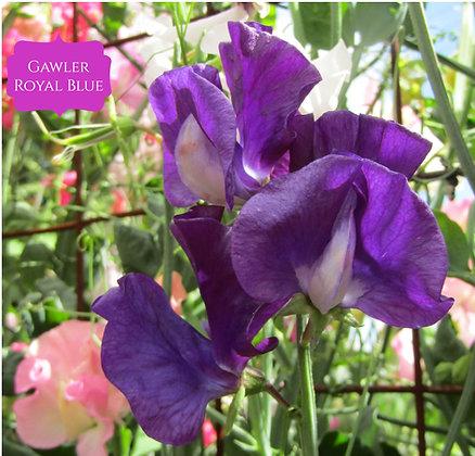 Gawler Royal Blue