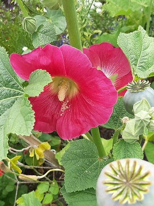 Hollyhock (Pink) - Alcea ficifolia