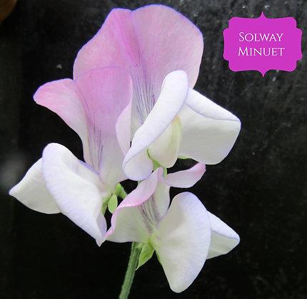 Solway Minuet - Semi Dwarf