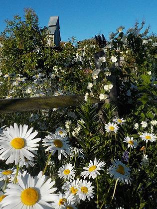 Ox-eye Daisy Plant - Leucanthemum vulgare