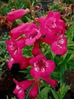 Penstemon 'Rose Robin'