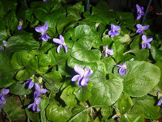 Sweet Violet or English Violet (Viola odorata) - Plant