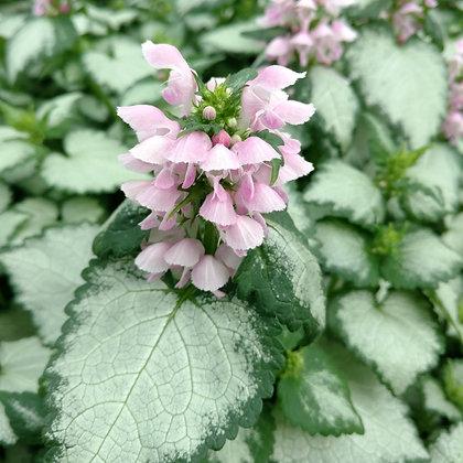 Lamium maculatum 'Pink Nancy'