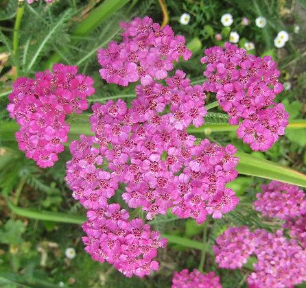 Achillea millefolium Cerise Queen (Yarrow)