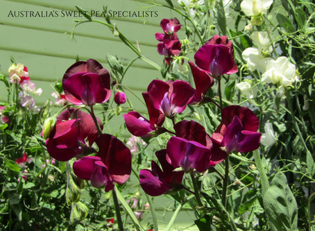 Myth Busted! When to Plant Your Sweet Pea Seeds