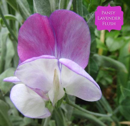 Pansy Lavender Flush - Semi Dwarf