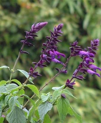 Salvia 'Black Knight'