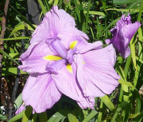 Japanese Iris Imperial Velvet